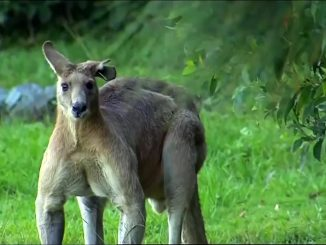 Un kangourou gigantesque terrorise une ville australienne